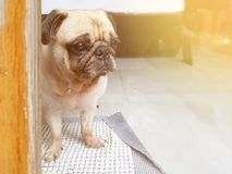 Cute puppy pug dog sitting and looking throughs door for waiting. Cute puppy pug dog sitting and looking throughs the door for waiting someone as alone or royalty free stock images
