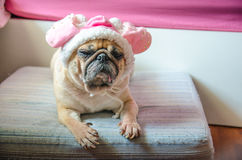 Cute puppy Pug dog with sweet pink hat sleep rest on pad. Royalty Free Stock Images
