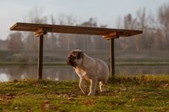 A cute puppy pug walking on grass, under a bench near a pond and is looking forward royalty free stock images