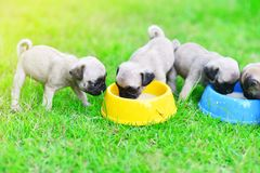 Puppy Pugs eating goat milk. Cute puppy Pugs eating goat milk in dog bowl royalty free stock photo