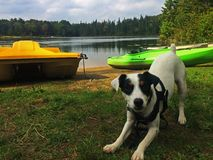 Cute Puppy Ready to Play at the Lake - Dog Body Language. Cute Jack Russell black and white puppy dog Ready to play at the lake Stock Image