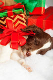 Cute Puppy With Red Bow Sleeping By Gifts. Cute English Springer Spaniel puppy with red bow sleeping by gifts Stock Image
