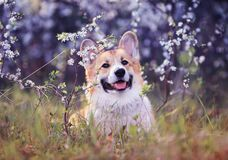 Cute puppy red dog Corgi funny stuck out pink tongue on natural background of cherry blossoms in spring Sunny may garden. Puppy red dog Corgi funny stuck out royalty free stock images