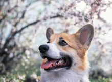 Cute puppy red dog Corgi funny stuck out  tongue on natural background of cherry blossoms in spring Sunny may garden. Puppy red dog Corgi funny stuck out pink stock photography