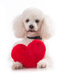Cute puppy with a red heart. Puppy with a red heart on a white background isolation Royalty Free Stock Images