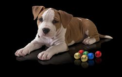 Dog puppy American Staffordshire Terrier with round colorful candies on a black background royalty free stock images