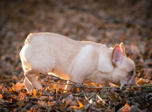 Cute puppy running outside Stock Images