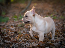 Cute puppy running outside Royalty Free Stock Photography