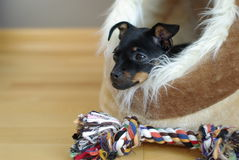 Cute puppy of russian toy-terrier Stock Photography