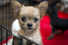 Cute puppy for sale. Cute puppy in a cage for sale on the pet market of Bangkok Stock Images