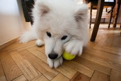 Cute puppy Samoyed indoor play with tennis ball Stock Image