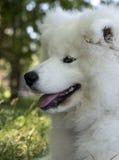 Cute puppy samoyede Stock Photos