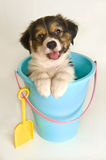 Cute puppy in a sand pail looking at camera agains Royalty Free Stock Photo