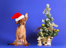 A cute puppy in a Santa Claus hat sits next to a Christmas tree. A smart Christmas card with a pet. Year of the dog on the Chinese horoscope. Russian Toy Royalty Free Stock Images