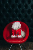 Cute puppy in Santa costume. Is sitting on the chair Royalty Free Stock Image
