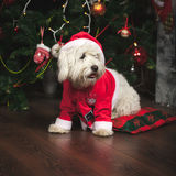 Cute puppy in Santa costume. Is sitting under the Christmas tree Royalty Free Stock Photos