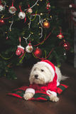 Cute puppy in Santa costume. Is sitting under Christmas tree Royalty Free Stock Photography
