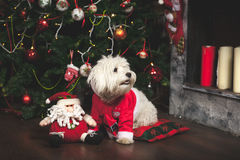 Cute puppy in Santa costume. Is sitting under Christmas tree Royalty Free Stock Photos