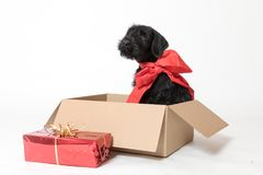 Cute puppy of Schnauzer Dog sitting in the box Stock Images