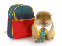 Cute puppy with school bag Royalty Free Stock Images