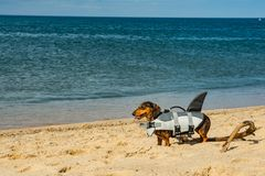 Dachshund Puppy on Cape Cod Beach. A cute puppy in a shark life vest on the beach at Cape Cod Massachusetts royalty free stock images
