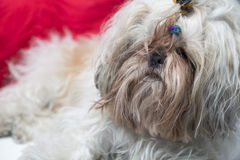 Cute puppy shi tzu dog lying on a red background Stock Photography