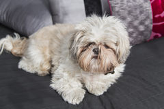 Cute puppy shi tzu dog lying on a sofa Royalty Free Stock Photos