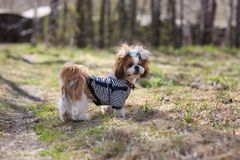 Cute puppy shih tzu dressed. For a walk royalty free stock image