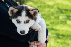 Cute puppy Siberian husky black and white with blue eyes on the. Hands of the owner. Blue-eyed sad siberian husky puppy outdoors on green background Stock Photography