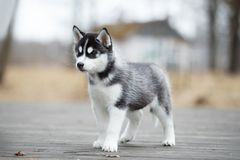 Cute puppy Siberian husky black and white running on the ground royalty free stock photo