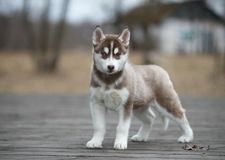 Cute puppy Siberian husky. On the ground stock photos