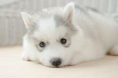 Cute puppy siberian husky Stock Photography