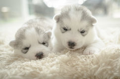 Cute puppy siberian husky Royalty Free Stock Images