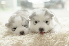 Cute puppy siberian husky Royalty Free Stock Image