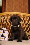 Cute puppy sits on the chair Stock Images