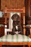 Cute puppy sits on the chair Royalty Free Stock Images