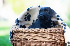 Cute puppy sitting in a basket Stock Image