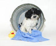 Cute Puppy Sitting in a Bath Tub. Black and white puppy sitting in a bath tub with a rubber ducky on a white background Stock Photo