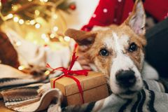 Cute puppy sitting at craft gift box on rug at beautiful chrisma royalty free stock photography