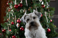 Cute puppy sitting in front of green Christmas tree. White Miniature Schnauzer party mix. Merry Christmas. Happy New Year. Small white dog by decorated tree royalty free stock photography