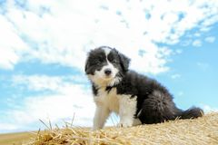 A cute puppy is looking satisfied. A cute puppy is sitting on the hay bale and looking satisfied Royalty Free Stock Images