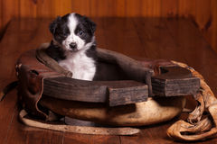 Cute puppy sitting inside an old horse collar Stock Photos