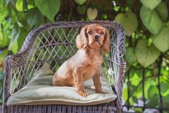 Free Cute Puppy Sitting On The Chair Royalty Free Stock Image - 125446356