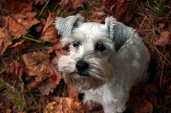 Cute puppy sitting on red fall leaves. White Miniature Schnauzer party mix. Small white dog in fall leaves. Miniature schnauzer puppy sitting on a bed of autumn Stock Image