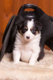 Cute puppy sitting on a sheepskin and under an old saddle for pony Stock Image