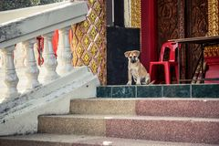 Cute puppy sitting on stairs and guarding the entrance of a temple. In Thailand Stock Image