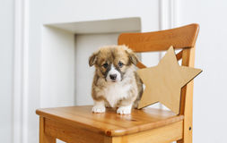 Cute puppy sitting up on wooden chair royalty free stock image