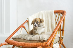 Cute puppy sitting up on wooden rocking-chair royalty free stock photography
