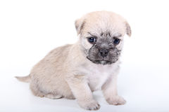Cute puppy sitting on white background. Shot of a cute puppy sitting on white background Royalty Free Stock Photos