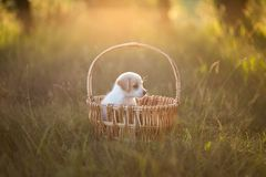 Cute puppy sitting in a wicker basket at sunset in the forest. The concept of friendship, happiness, joy and childhood royalty free stock image